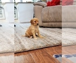 Puppy 5 Poodle (Standard)