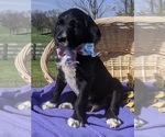 Puppy 2 Dalmadoodle