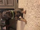 Doberman Pinscher Puppy For Sale in THOMASVILLE, NC