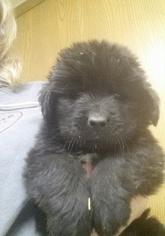 Newfoundland Puppy For Sale in WASHINGTN C H, OH, USA