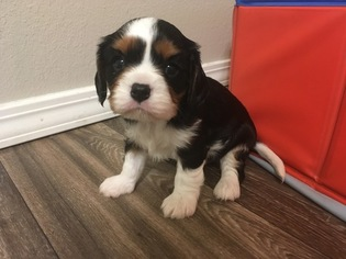 Cavalier King Charles Spaniel Puppy For Sale in MCCALL, ID, USA