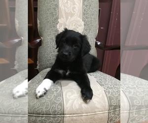 Australian Retriever Dog for Adoption in AUBURN, Massachusetts USA
