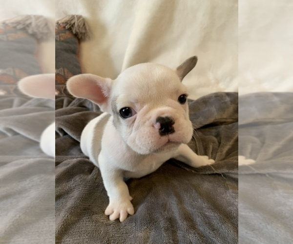 Medium Photo #17 French Bulldog Puppy For Sale in JOHNS ISLAND, SC, USA