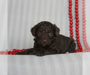 Poodle (Miniature) Puppy for sale in GORDONVILLE, PA, USA