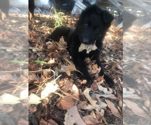 German Shepherd Dog Puppy for sale in BEL ALTON, MD, USA