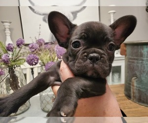French Bulldog Puppy for Sale in WENTZVILLE, Missouri USA