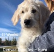 Goldendoodle Puppy For Sale in AURORA, CO, USA