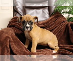 Boxer Puppy for sale in SHILOH, OH, USA
