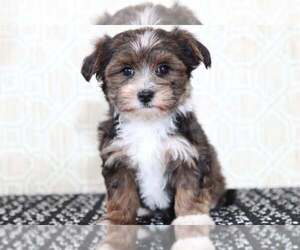 Morkie Puppy for sale in EL CAJON, CA, USA