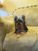 Yorkshire Terrier Puppy For Sale in QUINLAN, TX, USA