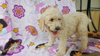 Poodle (Standard) Puppy For Sale in DALLAS, TX, USA