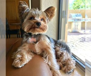 Yorkshire Terrier Puppy for sale in BEVERLY HILLS, CA, USA