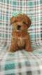 Lhasa-Poo Puppy For Sale in LANCASTER, PA, USA