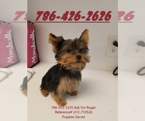 Yorkshire Terrier Puppy for sale in MIAMI, FL, USA