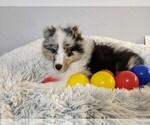Small #4 Shetland Sheepdog