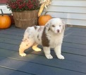 Sully AKC Red Merle Blue Eyed Male
