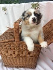 Australian Shepherd Puppy For Sale in FULLERTON, CA, USA