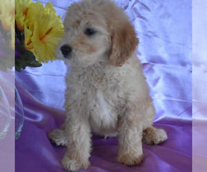 Goldendoodle Dog for Adoption in MILLERSBURG, Ohio USA