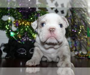 Bulldog Puppy for sale in CHALMETTE, LA, USA