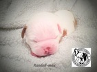 American Bulldog Puppy For Sale in VERNAL, UT