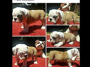 Bulldog Puppy For Sale in REDDING, CA, USA