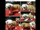 Bulldog Puppy For Sale in REDDING, CA,