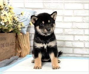 Shiba Inu Puppy for sale in HOUSTON, TX, USA