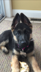 German Shepherd Dog Puppy For Sale in LANCASTER, MA