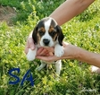 Beagle Puppy For Sale in EDGEWOOD, TX