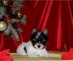 Small Biewer Terrier