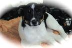 Border Collie-Rat Terrier Mix Puppy For Sale in HAMMOND, IN
