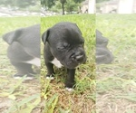 Small #1 Staffordshire Bull Terrier
