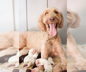 Mother of the Goldendoodle puppies born on 07/03/2019