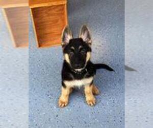 German Shepherd Dog Puppy for sale in CINCINNATI, OH, USA