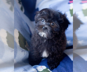 Shih-Poo Puppy for Sale in MILWAUKEE, Wisconsin USA