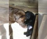Small Photo #6 Labrador Retriever Puppy For Sale in FRUITPORT, MI, USA