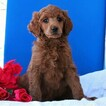 Poodle (Standard) Puppy For Sale in GAP, Pennsylvania,