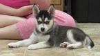 Puppy 5 Alaskan Klee Kai