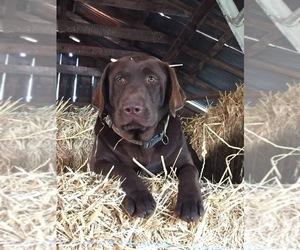 Mother of the Labrador Retriever puppies born on 02/02/2020