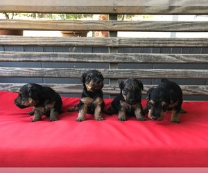 Welsh Terrier Puppy for sale in DRY BRANCH, GA, USA