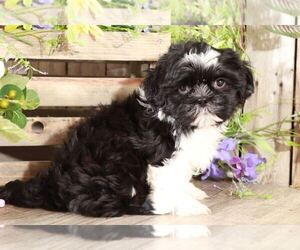 Shih Tzu Puppy for sale in MOUNT VERNON, OH, USA