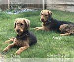 Small #6 Airedale Terrier