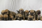Litter of Puggle Puppies