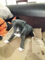 American Pit Bull Terrier Puppy For Sale in SAN LEANDRO, CA, USA