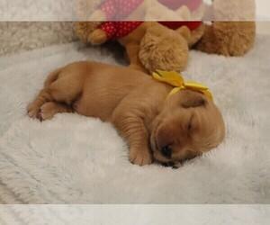 Golden Retriever Puppy for sale in W JORDAN, UT, USA