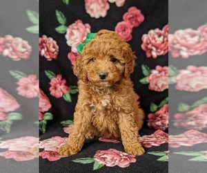 Irish Doodle Dog for Adoption in PEACH BOTTOM, Pennsylvania USA