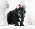 Puppy 12 ShihPoo