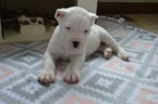 Dogo Argentino Puppy For Sale in HONEY BROOK, PA, USA