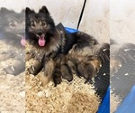 Image preview for Ad Listing. Nickname: Keeshond Spitz