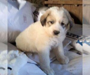 Great Pyrenees Dog for Adoption in BRIGHTON, Iowa USA